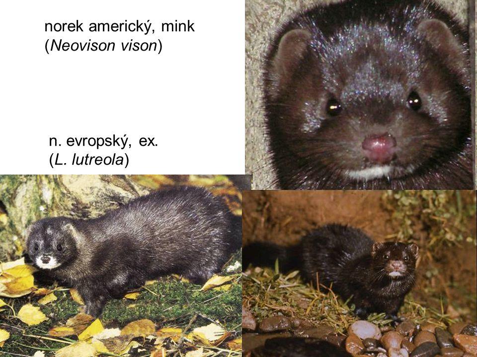 21 norek americký, mink (Neovison vison) n. evropský, ex. (L. lutreola)