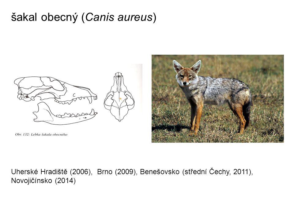šakal obecný (Canis aureus) Uherské Hradiště (2006), Brno (2009), Benešovsko (střední Čechy, 2011), Novojičínsko (2014)