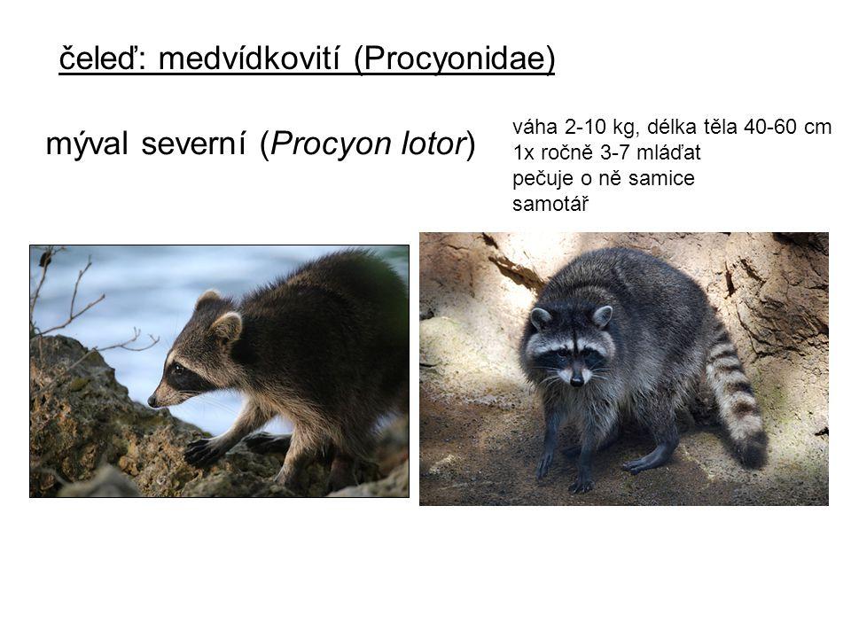 váha 2-10 kg, délka těla 40-60 cm 1x ročně 3-7 mláďat pečuje o ně samice samotář čeleď: medvídkovití (Procyonidae) mýval severní (Procyon lotor)