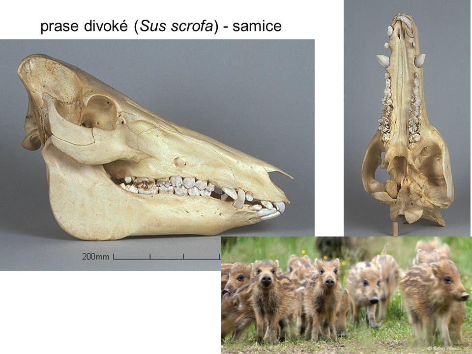 prase divoké (Sus scrofa) - samice