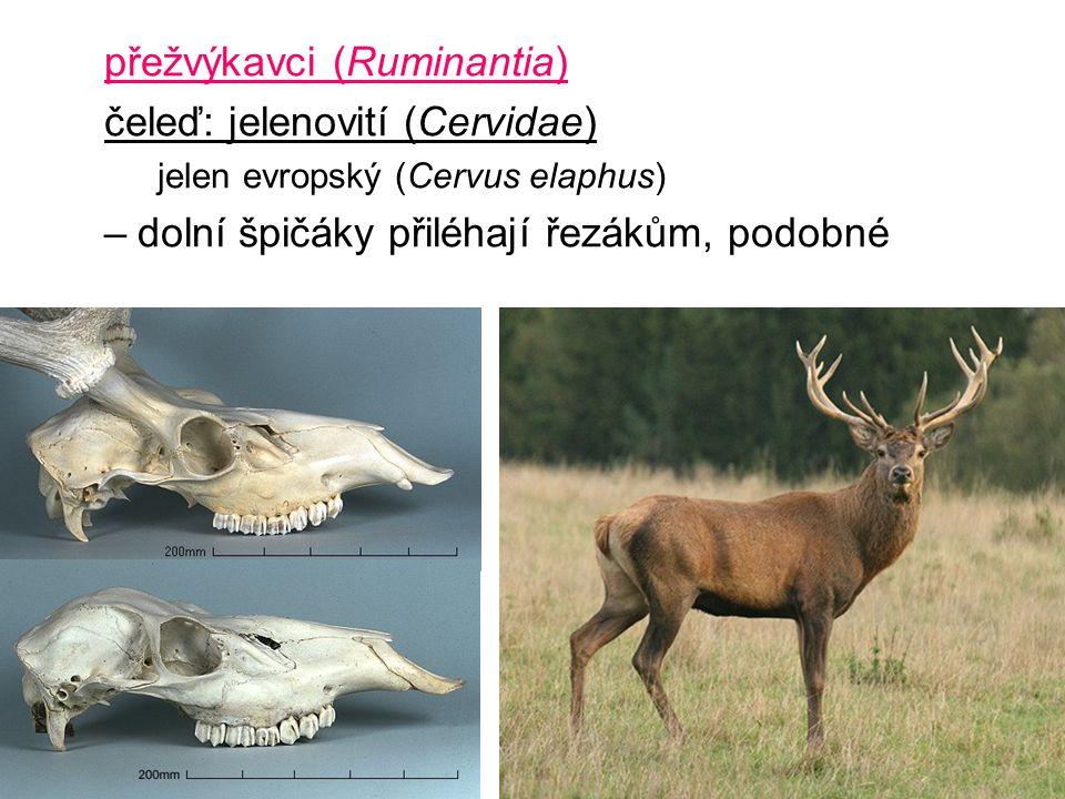 přežvýkavci (Ruminantia) čeleď: jelenovití (Cervidae) jelen evropský (Cervus elaphus) –dolní špičáky přiléhají řezákům, podobné