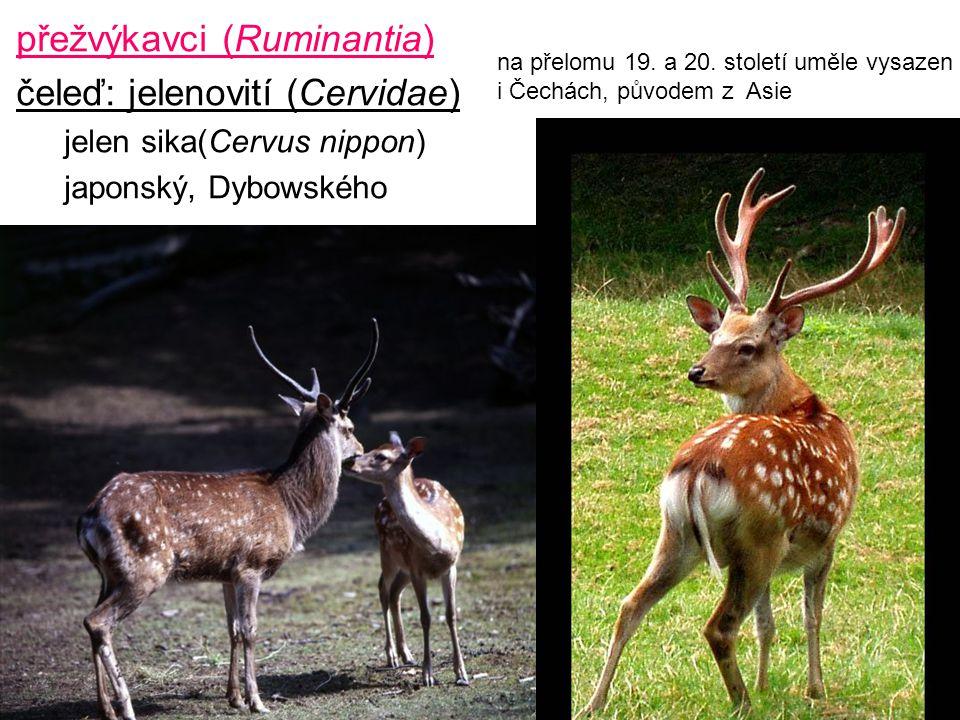 49 přežvýkavci (Ruminantia) čeleď: jelenovití (Cervidae) jelen sika(Cervus nippon) japonský, Dybowského na přelomu 19. a 20. století uměle vysazen i Č