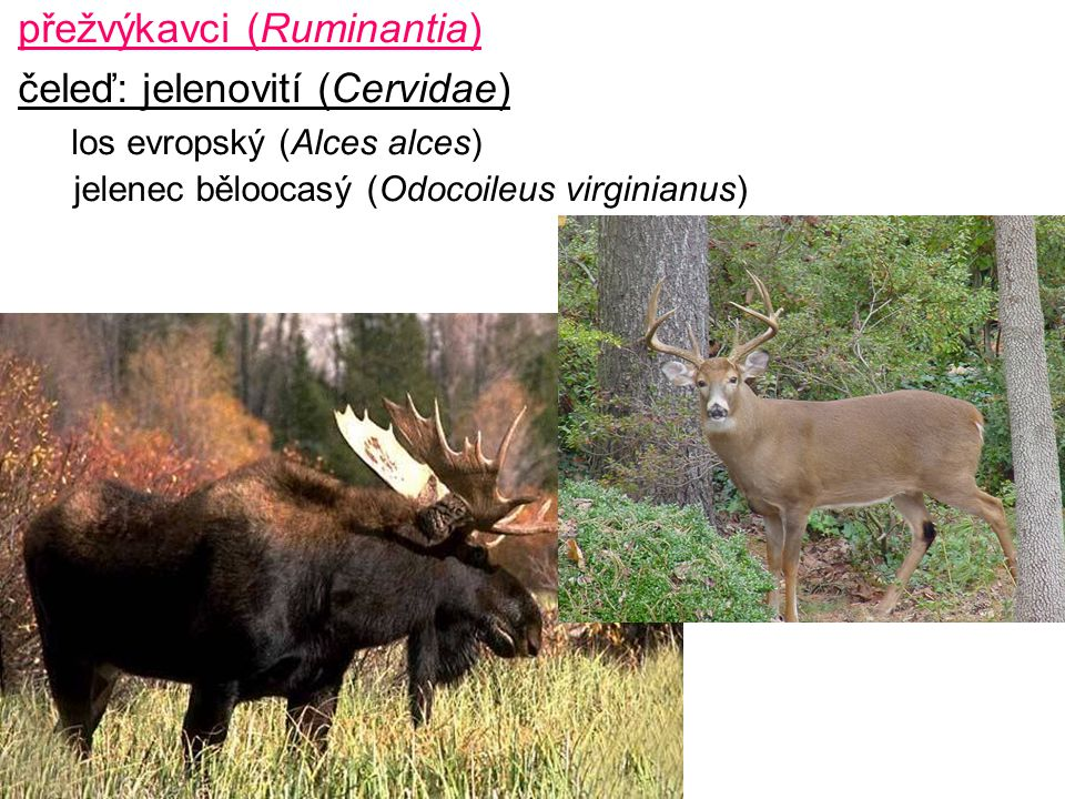 přežvýkavci (Ruminantia) čeleď: jelenovití (Cervidae) los evropský (Alces alces) jelenec běloocasý (Odocoileus virginianus)