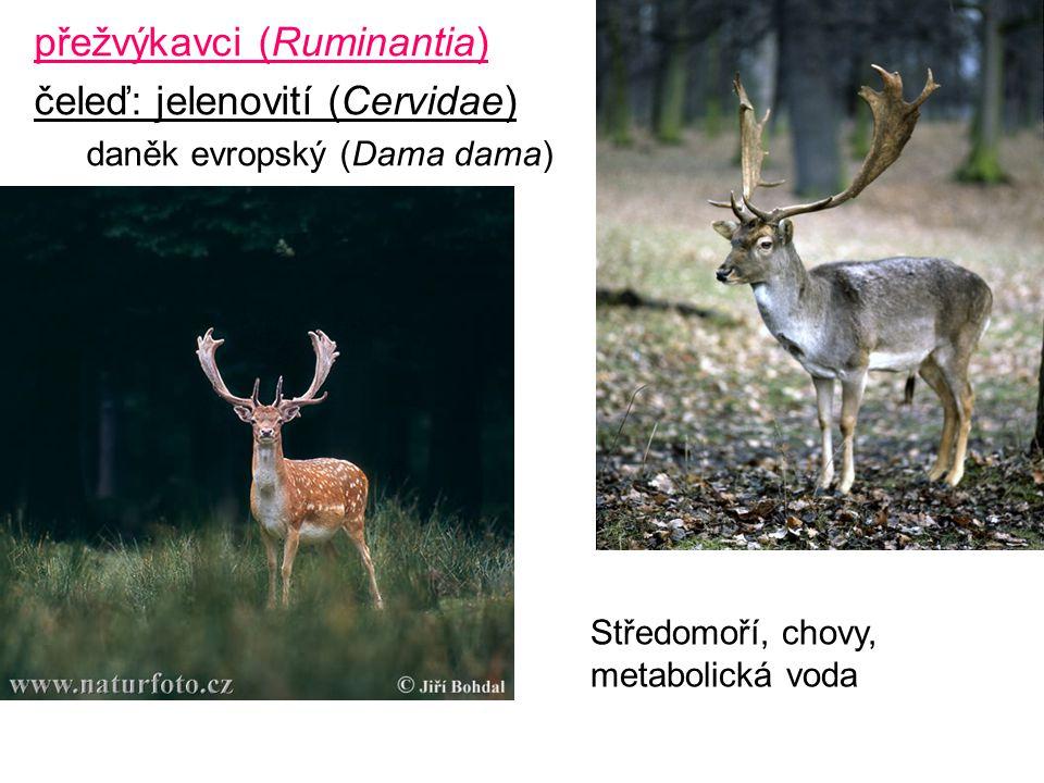 přežvýkavci (Ruminantia) čeleď: jelenovití (Cervidae) daněk evropský (Dama dama) Středomoří, chovy, metabolická voda