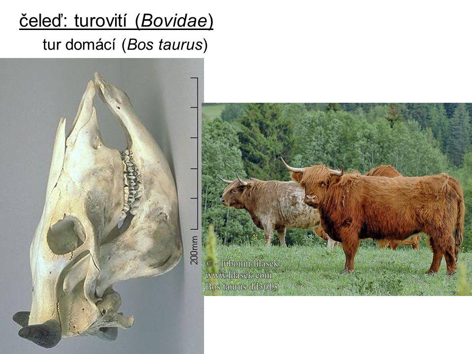 čeleď: turovití (Bovidae) tur domácí (Bos taurus)