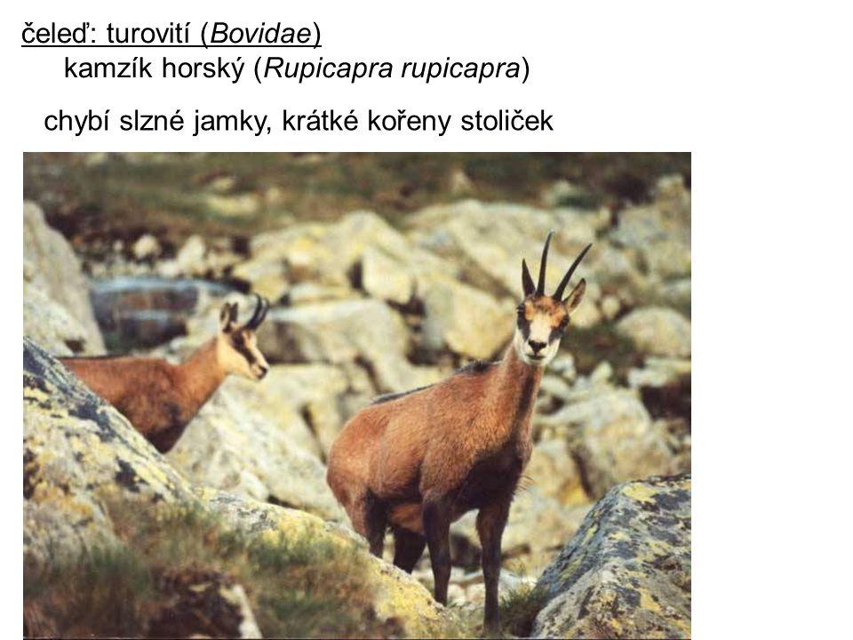 čeleď: turovití (Bovidae) kamzík horský (Rupicapra rupicapra) chybí slzné jamky, krátké kořeny stoliček