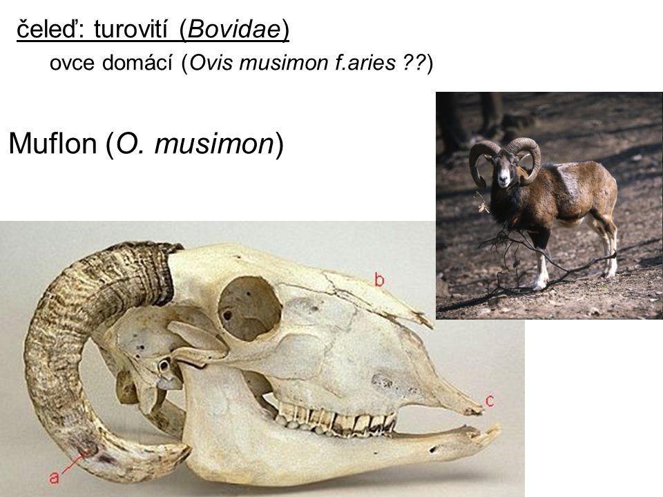 čeleď: turovití (Bovidae) ovce domácí (Ovis musimon f.aries ??) Muflon (O. musimon)