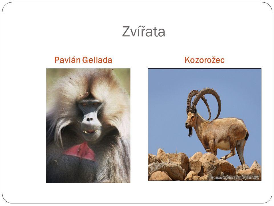 Zvířata Pavián GelladaKozorožec