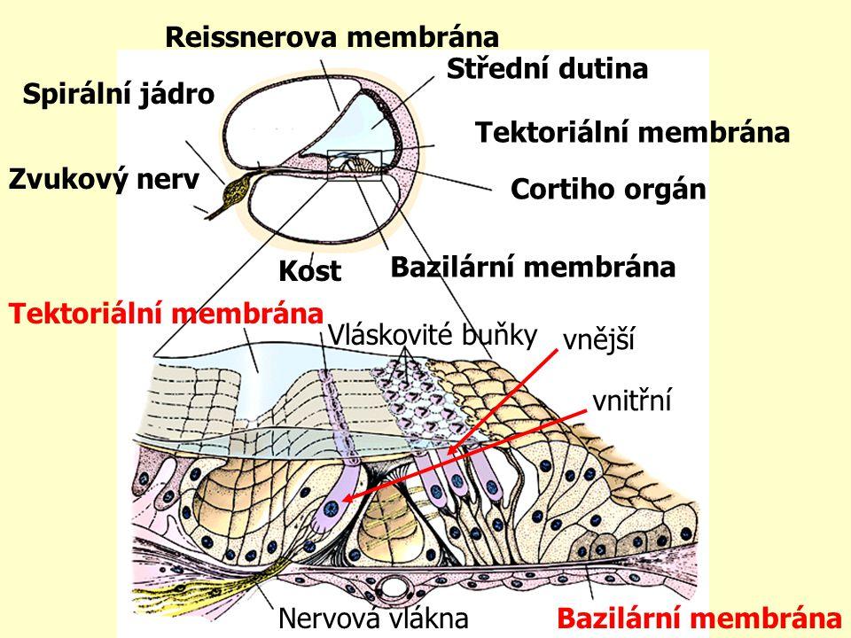 Zvukový nerv Spirální jádro Reissnerova membrána Střední dutina Tektoriální membrána Cortiho orgán Bazilární membrána Kost Tektoriální membrána Vlásko