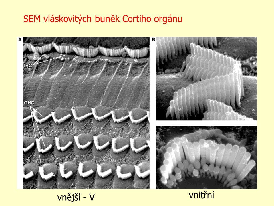 SEM vláskovitých buněk Cortiho orgánu vnější- V vnitřní