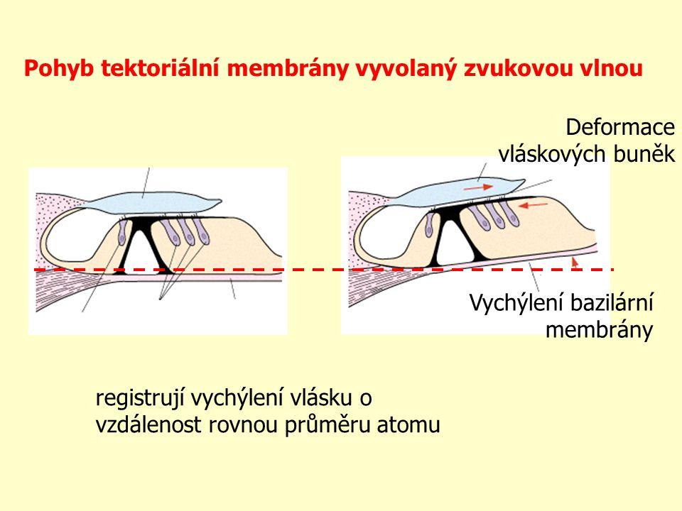 Pohyb tektoriální membrány vyvolaný zvukovou vlnou Deformace vláskových buněk Vychýlení bazilární membrány registrují vychýlení vlásku o vzdálenost ro