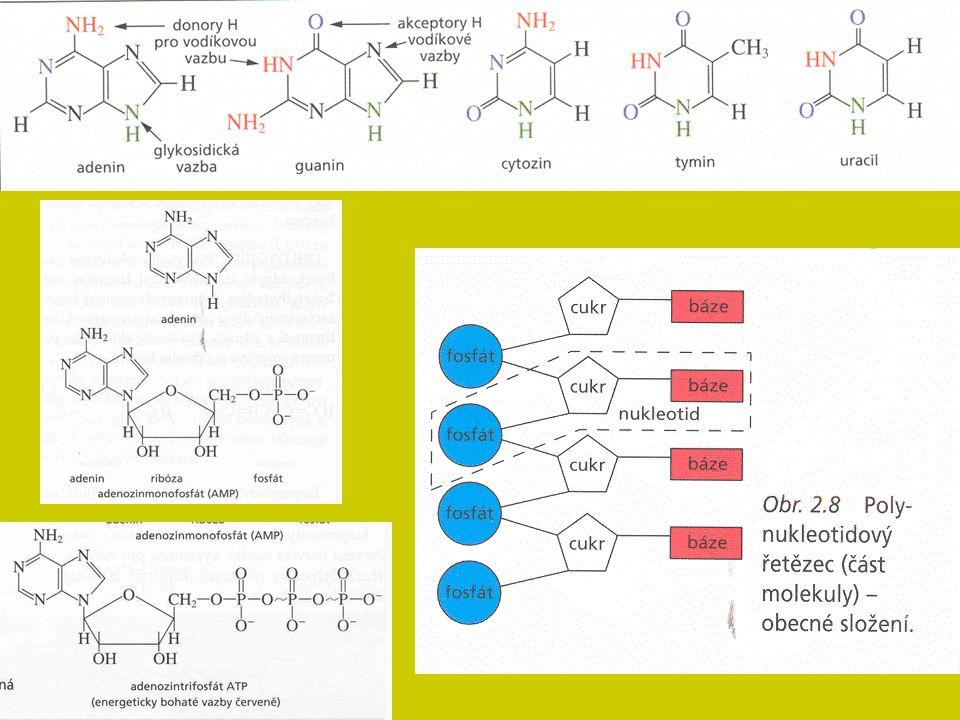 Homeostáza organismu Zajištění stálosti vnitřního prostředí pro průběh základních životních procesů – nutnost řízení aktivity orgánů a tkání s cílem minimalizace změn ve vnitřním prostředí (dynamická rovnováha) Energetika Základní vlastnost živé hmoty – potřeba energie Získávání: tvorba a využití stávající organické hmoty: enzymatický rozklad organických látek Všechny životní děje – neustálá přeměna energie Dvoustupňová cesta (katabolismus x anabolismus): a) energie z živin, transport glukózy → ATP v buňkách b) štěpení ATP → uvolnění energie (vlastní metabolismus) Odpad: ztrátové teplo Řízení látkové přeměny
