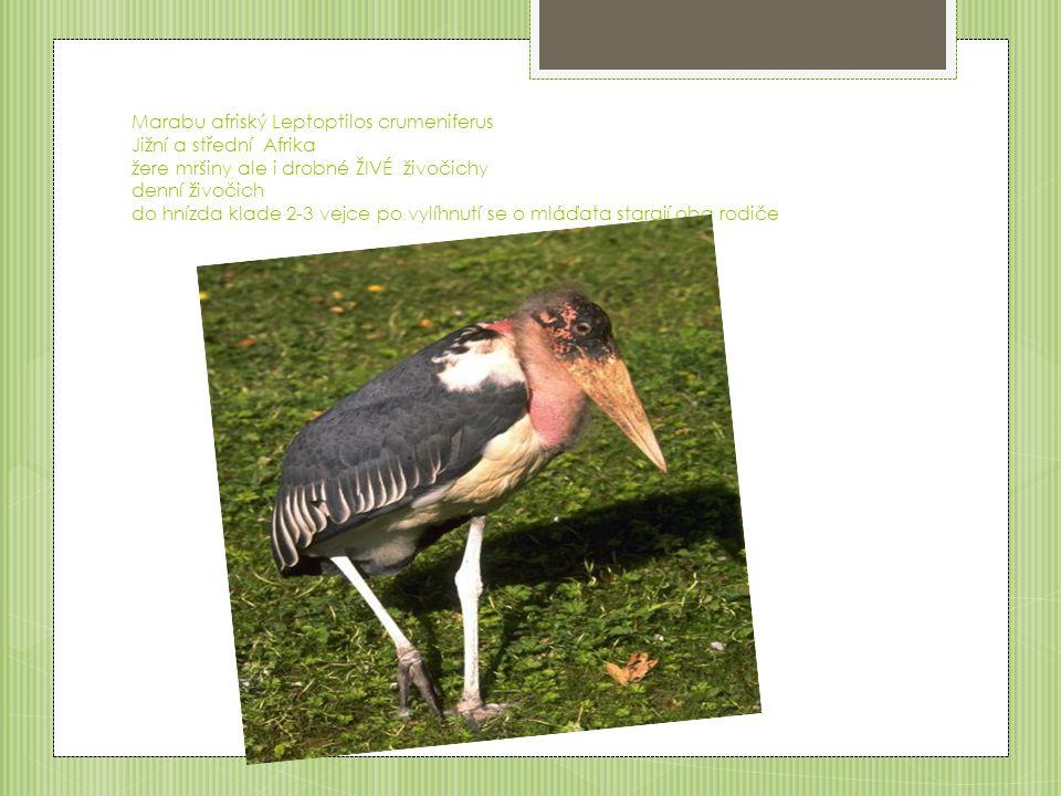 Luňák červený Milvus milvus Požírá mršiny v zimě i odpadky do hnízda klade 2-4 vejce o mláďata se stará samice a samec jí krmí
