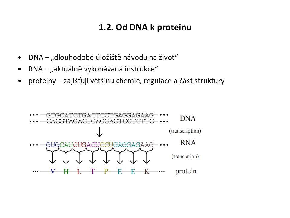 """1.2. Od DNA k proteinu DNA – """"dlouhodobé úložiště návodu na život"""" RNA – """"aktuálně vykonávaná instrukce"""" proteiny – zajišťují většinu chemie, regulace"""