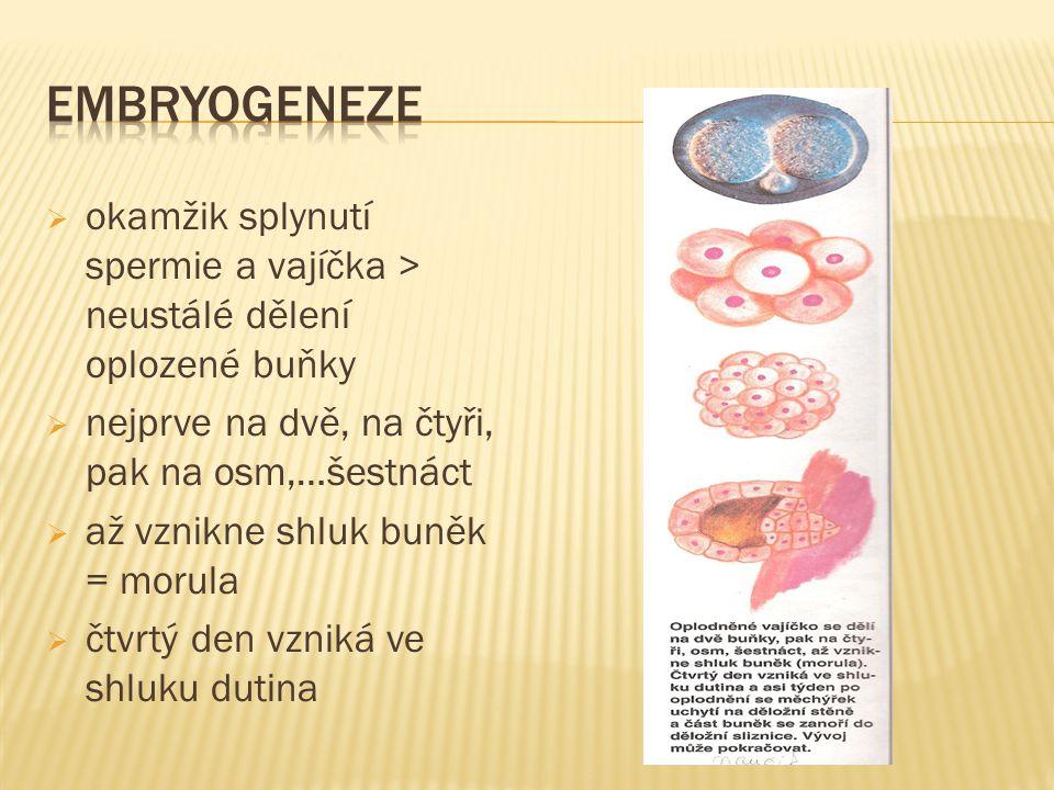  okamžik splynutí spermie a vajíčka > neustálé dělení oplozené buňky  nejprve na dvě, na čtyři, pak na osm,…šestnáct  až vznikne shluk buněk = morula  čtvrtý den vzniká ve shluku dutina