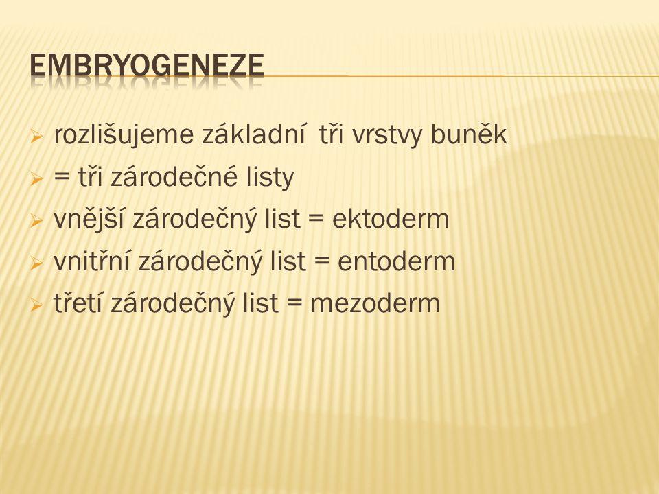  rozlišujeme základní tři vrstvy buněk  = tři zárodečné listy  vnější zárodečný list = ektoderm  vnitřní zárodečný list = entoderm  třetí zárodečný list = mezoderm