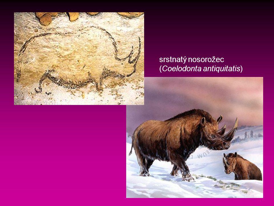srstnatý nosorožec (Coelodonta antiquitatis)