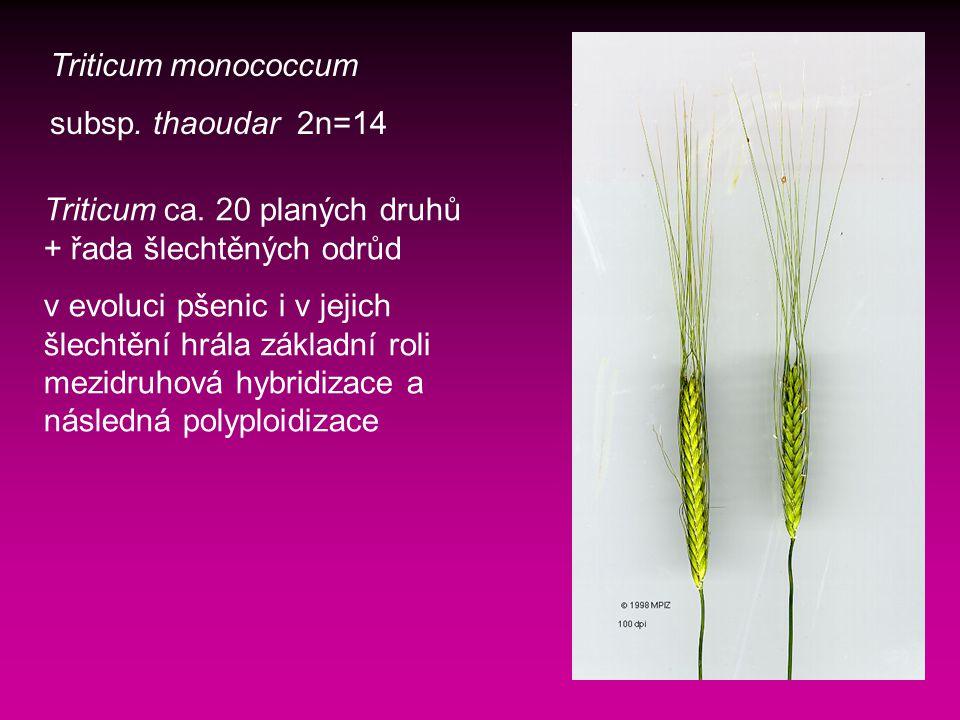Triticum monococcum subsp.thaoudar 2n=14 Triticum ca.