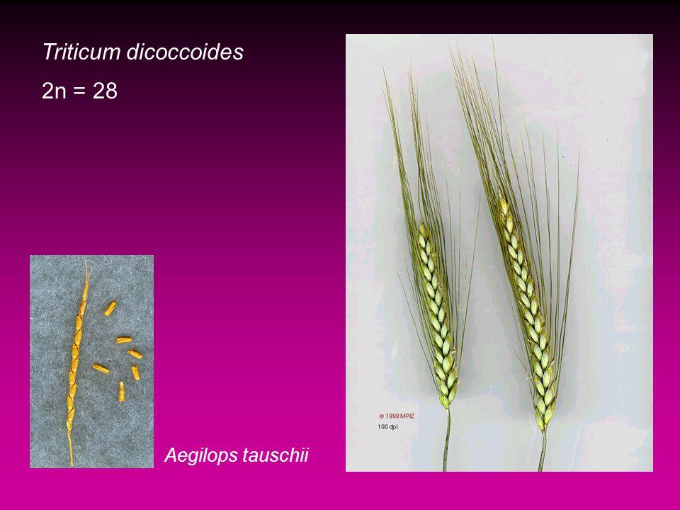 Triticum dicoccoides Aegilops tauschii 2n = 28