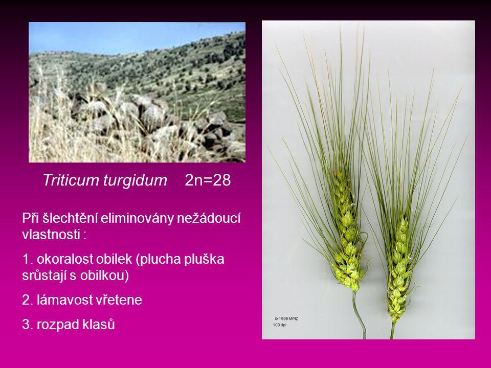 Triticum turgidum 2n=28 Při šlechtění eliminovány nežádoucí vlastnosti : 1.