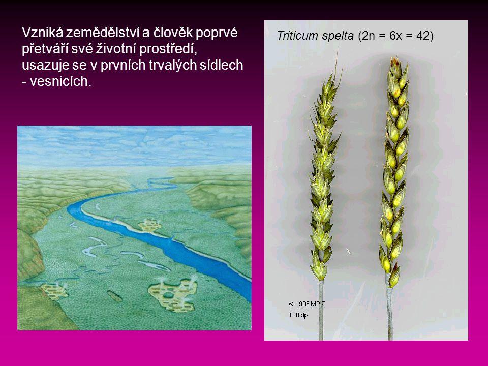 Triticum spelta (2n = 6x = 42) Vzniká zemědělství a člověk poprvé přetváří své životní prostředí, usazuje se v prvních trvalých sídlech - vesnicích.