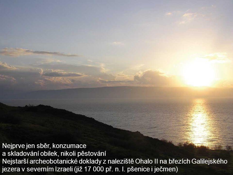 Nejprve jen sběr, konzumace a skladování obilek, nikoli pěstování Nejstarší archeobotanické doklady z naleziště Ohalo II na březích Galilejského jezera v severním Izraeli (již 17 000 př.