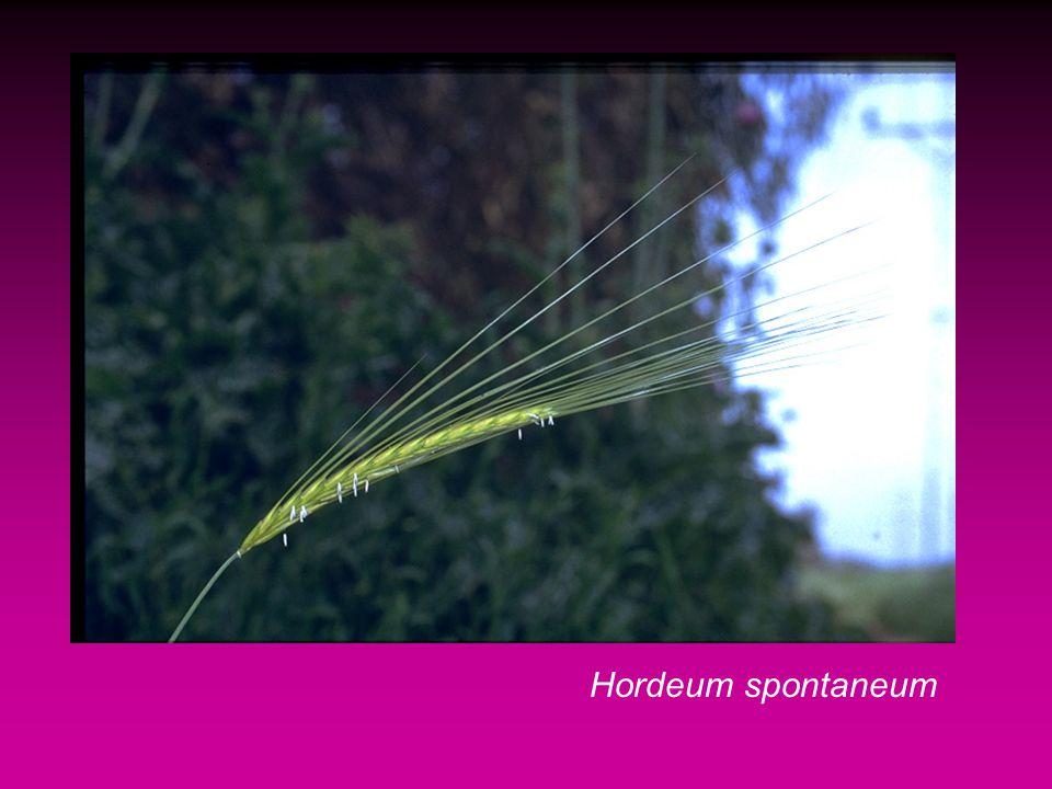 Hordeum spontaneum