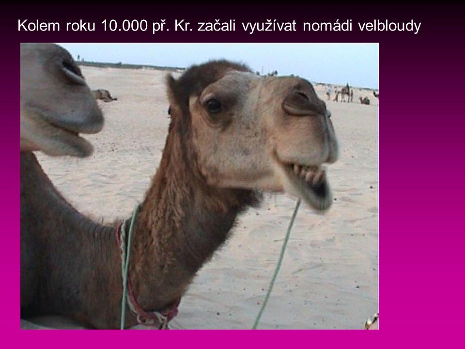 Kolem roku 10.000 př. Kr. začali využívat nomádi velbloudy