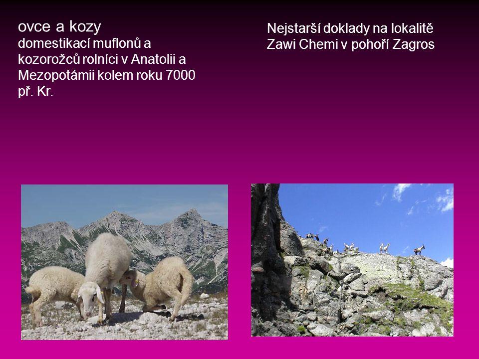 ovce a kozy domestikací muflonů a kozorožců rolníci v Anatolii a Mezopotámii kolem roku 7000 př.