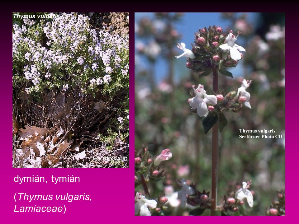dymián, tymián (Thymus vulgaris, Lamiaceae)