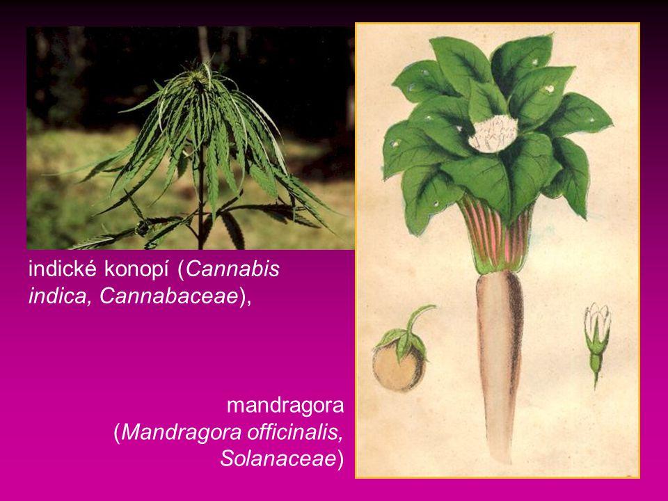 mandragora (Mandragora officinalis, Solanaceae) indické konopí (Cannabis indica, Cannabaceae),