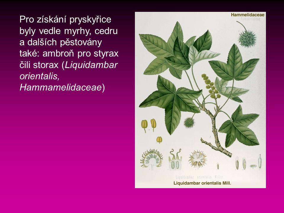 Pro získání pryskyřice byly vedle myrhy, cedru a dalších pěstovány také: ambroň pro styrax čili storax (Liquidambar orientalis, Hammamelidaceae)