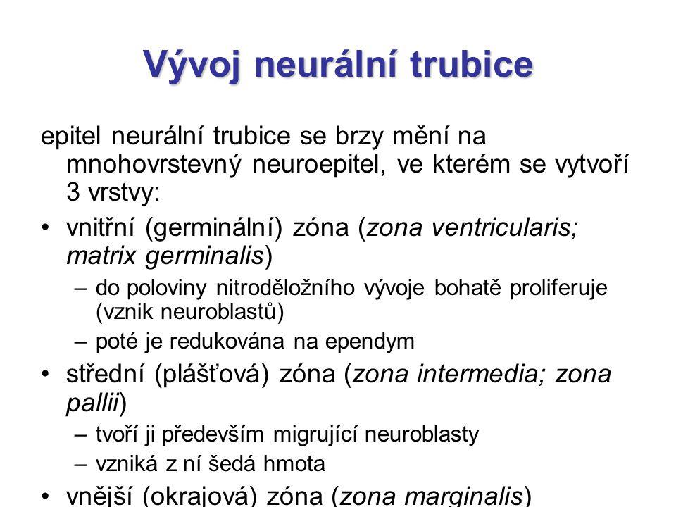 Vývoj neurální trubice epitel neurální trubice se brzy mění na mnohovrstevný neuroepitel, ve kterém se vytvoří 3 vrstvy: vnitřní (germinální) zóna (zo