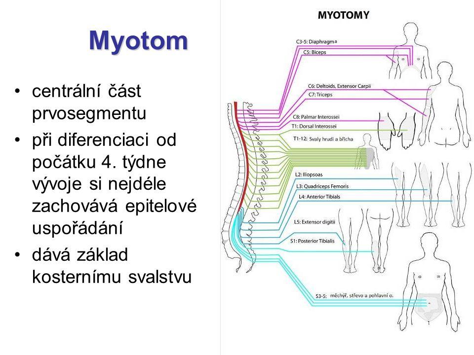 Myotom centrální část prvosegmentu při diferenciaci od počátku 4. týdne vývoje si nejdéle zachovává epitelové uspořádání dává základ kosternímu svalst