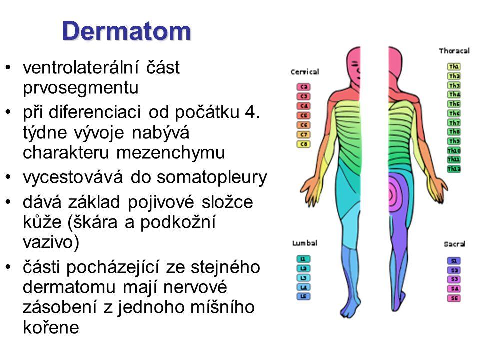ventrolaterální část prvosegmentu při diferenciaci od počátku 4. týdne vývoje nabývá charakteru mezenchymu vycestovává do somatopleury dává základ poj