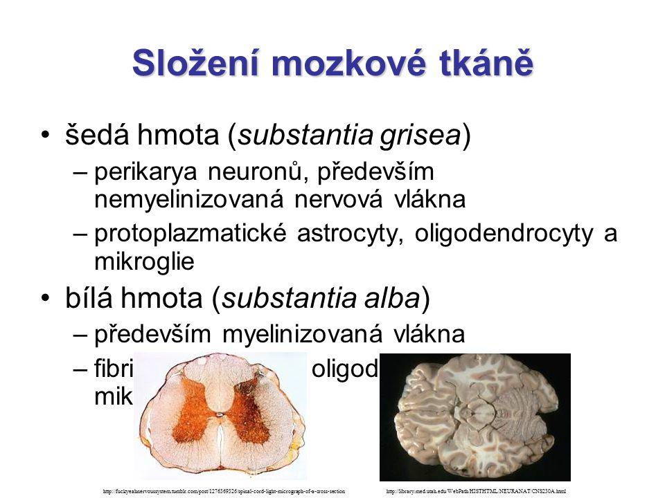 Složení mozkové tkáně šedá hmota (substantia grisea) –perikarya neuronů, především nemyelinizovaná nervová vlákna –protoplazmatické astrocyty, oligode