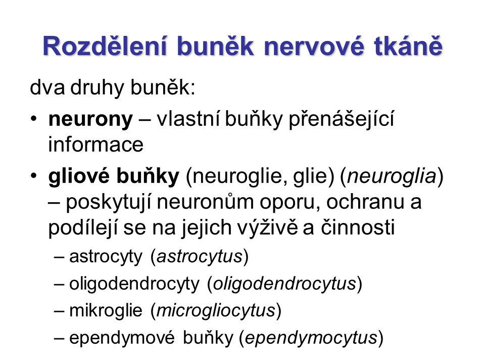 Cerebellum = Mozeček vermis (červ) – nepárový uprostřed hemispheria (mozečkové polokoule) – párové kůra x corpus medullare 3 lobi (laloky) –lobus anterior –lobus posterior –lobus flocculonodularis 4 nuclei cerebelli (mozečková jádra) –nucleus dentatus –nucleus emboliformis –nucleus globosus –nucleus fastigii