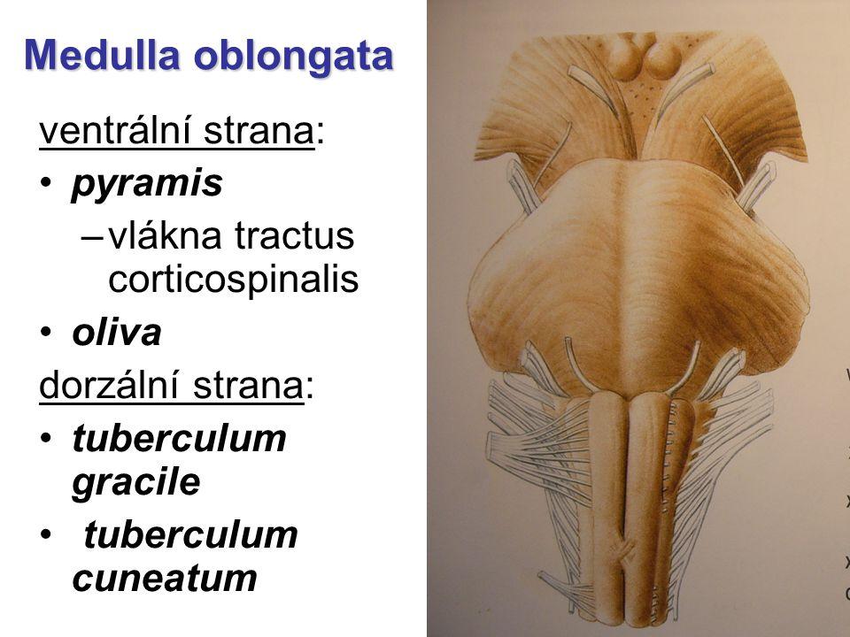 Medulla oblongata ventrální strana: pyramis –vlákna tractus corticospinalis oliva dorzální strana: tuberculum gracile tuberculum cuneatum