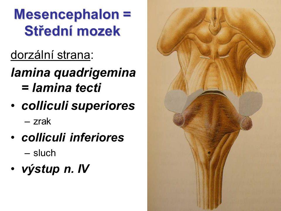 dorzální strana: lamina quadrigemina = lamina tecti colliculi superiores –zrak colliculi inferiores –sluch výstup n. IV Mesencephalon = Střední mozek