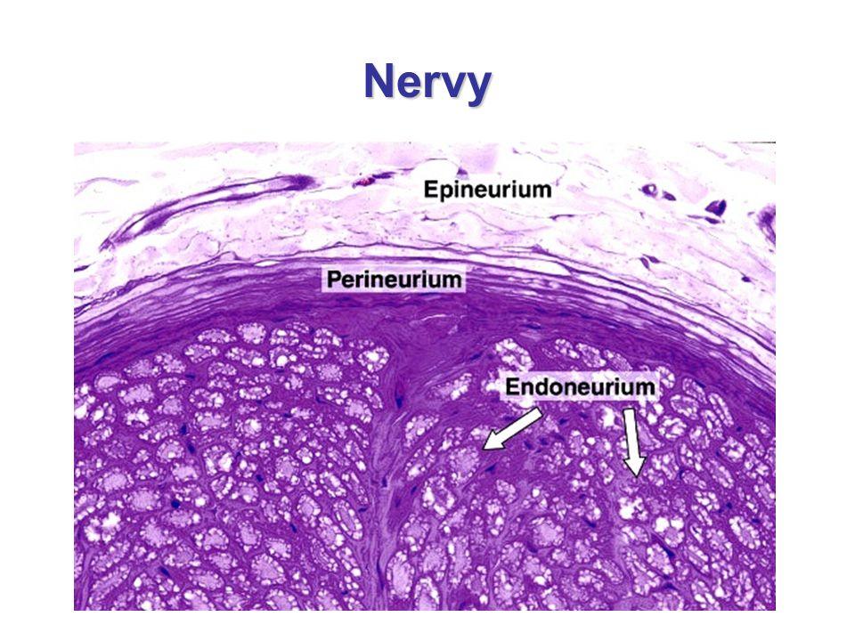 Zauzliny = Ganglia nervová ganglia jsou nakupení perikaryí v PNS mají ovoidní tvar a jejich povrch kryje pouzdro z hustého neuspořádaného vaziva typické jsou tzv.