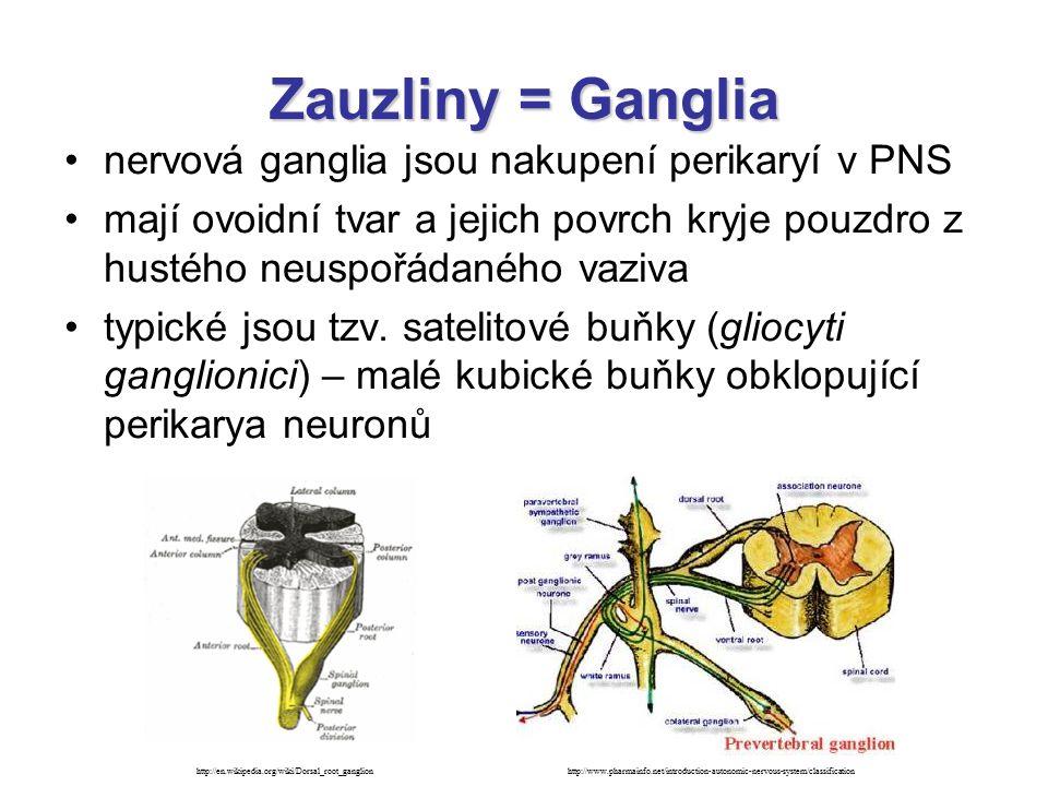 Zauzliny = Ganglia - rozdělení míšní ganglia (ganglion spinale) –senzitivní (ganglion sensorium) –v zadních kořenech míšních nervů a v průběhu hlavových nervů (V, IX, X) –obsahují typické pseudounipolární neurony –přivádí senzorické podněty z periferie do CNS autonomní (vegetativní) ganglia (ganglion autonomicum) –v průběhu autonomních nervů –obsahují multipolární neurony –vrstva satelitových buněk je nekompletní –intramurální ganglia parasympatická ganglia ve stěně dutých orgánů