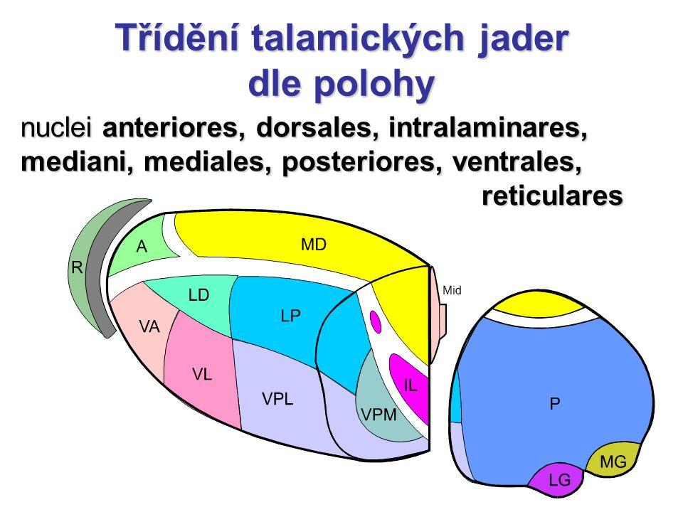 Třídění talamických jader dle polohy nuclei anteriores, dorsales, intralaminares, mediani, mediales, posteriores, ventrales, reticulares reticulares