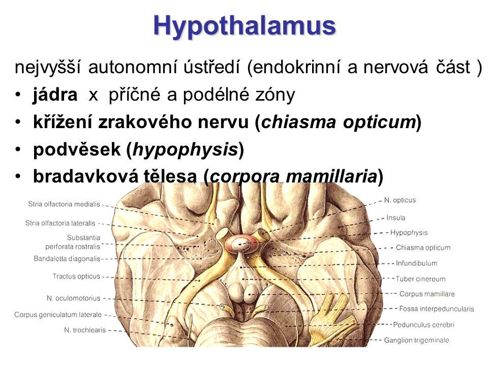 Hypothalamus nejvyšší autonomní ústředí (endokrinní a nervová část ) jádra x příčné a podélné zóny křížení zrakového nervu (chiasma opticum) podvěsek
