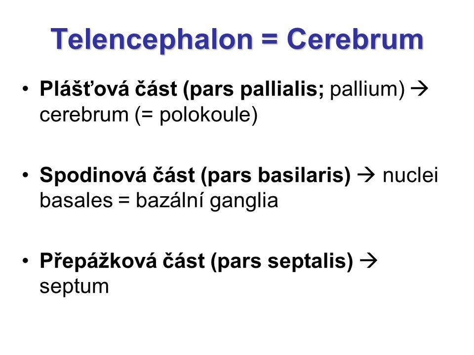 Telencephalon = Cerebrum Plášťová část (pars pallialis; pallium)  cerebrum (= polokoule) Spodinová část (pars basilaris)  nuclei basales = bazální g