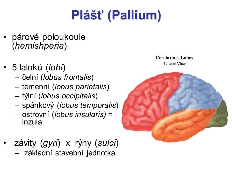 Plášť (Pallium) párové poloukoule (hemishperia) 5 laloků (lobi) –čelní (lobus frontalis) –temenní (lobus parietalis) –týlní (lobus occipitalis) –spánk