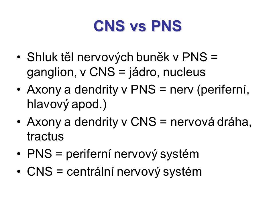 CNS vs PNS Shluk těl nervových buněk v PNS = ganglion, v CNS = jádro, nucleus Axony a dendrity v PNS = nerv (periferní, hlavový apod.) Axony a dendrit