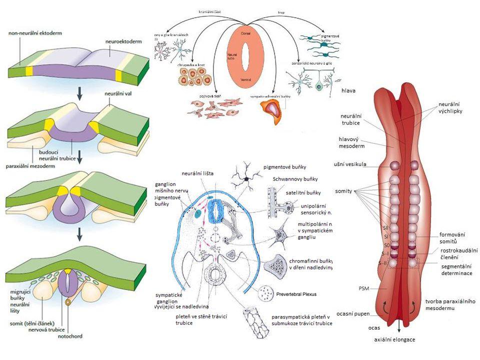 Formatio reticularis (Retikulární formace) RF fylogeneticky patří mezi nejstarší mozkové části zajišťuje základní stereotypy (chůze, spánek) významně ovlivňuje bdělost, únavu a motivaci špatně morfologicky definovaná centrálně a dorzálně v kmeni, zejména v mostu ascendentní aktivační systém (ARAS) → talamus, hypotalamus, mozková kůra (bdění) descendentní inhibiční systém → inhibice motoneuronu míchy