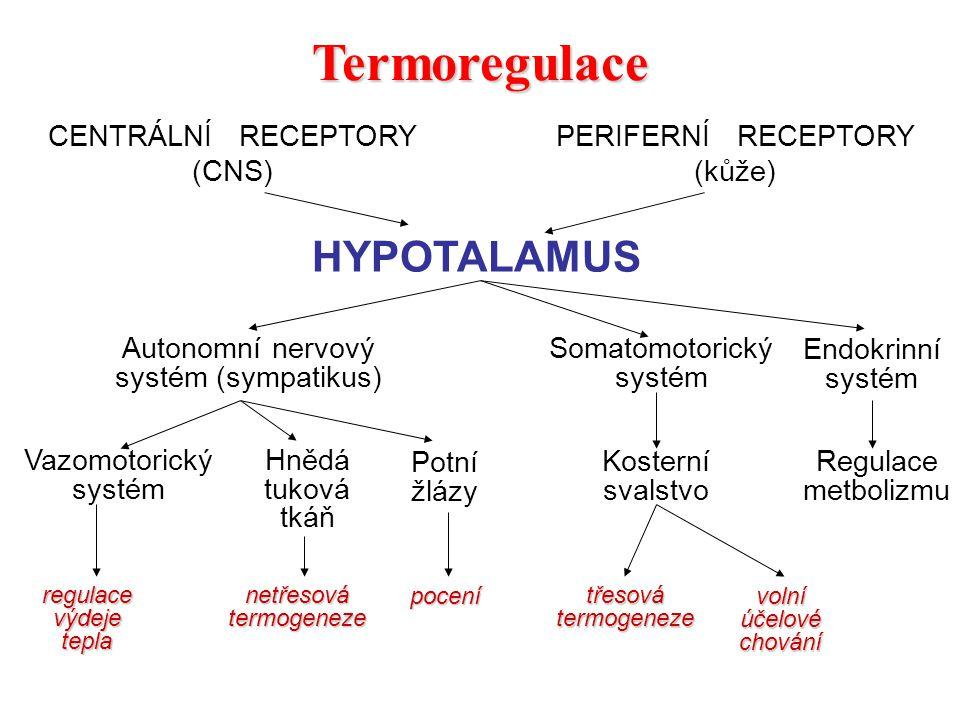 Termoregulace HYPOTALAMUS CENTRÁLNÍ RECEPTORY (CNS) PERIFERNÍ RECEPTORY (kůže) Autonomní nervový systém (sympatikus) Somatomotorický systém Endokrinní