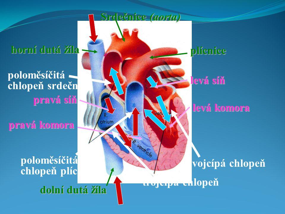 trojcípá chlopeň poloměsíčitá chlopeň plícnice plícnice Srdečnice (aorta) horní dutá žíla dolní dutá žíla pravá síň levá síň pravá komora levá komora poloměsíčitá chlopeň srdečnice dvojcípá chlopeň