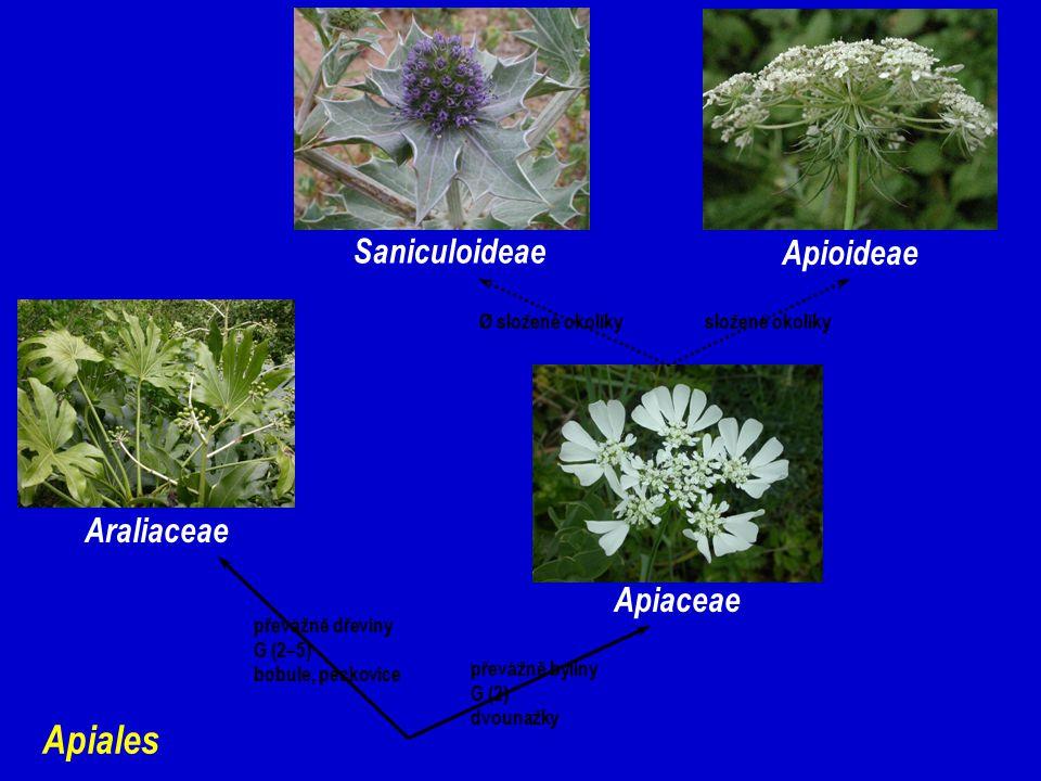 Apiales Araliaceae Apiaceae Apioideae Saniculoideae Ø složené okolíkysložené okolíky převážně dřeviny G (2–5) bobule, peckovice převážně byliny G (2) dvounažky